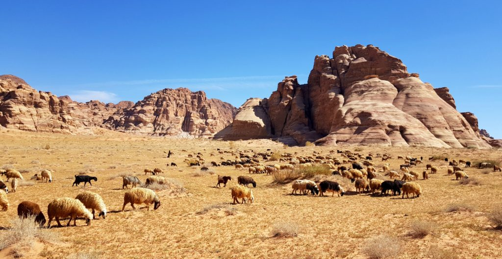 Sheep in Wadi Rum - Bedouin life and hospitality